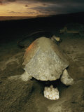 Olive Ridley Sea Turtle and Eggs, Which the Animal Lays after Digging a Hole in the Sand Photographic Print by Steve Winter