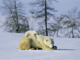 A Young Polar Bear Rests on the Back of its Mother Photographic Print by Norbert Rosing