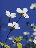 Pacific Dogwood Blossoms Photographic Print by Marc Moritsch