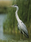 Slender Gray Heron Standing at the Waters Edge Fotografisk tryk af Klaus Nigge