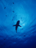 A Silhouette of a Grey Reef Shark Photographie par Brian J. Skerry