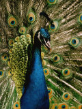 Close View of a Peacock Photographic Print by George F. Mobley