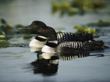 Close View of a Mated Pair of Common Loons Swimming in Tandem Papier Photo par Michael S. Quinton