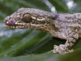 Extreme Close-up of a Gecko in the Rain Forest Photographic Print by Mattias Klum