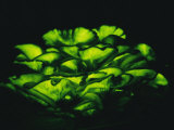 Jack-O-Lantern Mushrooms Glowing Green at Night Photographic Print by Darlyne A. Murawski