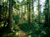 Woodland path winding through a grove of sequoia trees Lámina fotográfica por James P. Blair