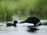 A Tiny Loon Chick Being Fed by its Parent Fotografiskt tryck av Michael S. Quinton