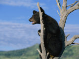 A Young American Black Bear Perches in the Fork of a Tree Photographic Print by Norbert Rosing