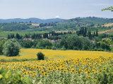 Field of Sunflowers Stampa fotografica di Nowitz, Richard