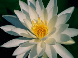 A Close View of a White Fragrant Water Lily Impresso fotogrfica por Medford Taylor
