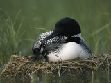 A Common Loon Sits with a Chick on Her Marshy Nest Fotografiskt tryck av Michael S. Quinton