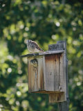 Common Kestrels Nest in a Bird House Photographic Print by Dr. Maurice G. Hornocker