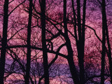 Detail of Bare Trees Silhouetted against a Deep Rose Sky Photographic Print by Mattias Klum