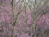 Redbud Trees in Springtime Bloom, Shenandoah Valley, Virginia Photographic Print by Skip Brown