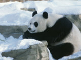 A Panda in the Snow at the National Zoo in Washington, Dc Lámina fotográfica por Kennedy, Taylor S.