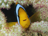 An Orange-Fin Anemonefish Shelters Among Sea Anemone Tentacles Photographic Print by Tim Laman