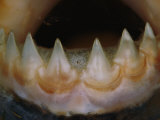 Close View of the Teeth of a Piranha Photographic Print by Paul Zahl