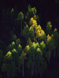 Sunlight Highlights Aspen Trees in Their Fall Colors Near Silverton Fotografisk tryk af Melissa Farlow