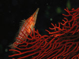 A Longnose Hawkfish Near a Red Coral Photographic Print by Tim Laman