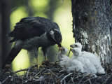 A Northern Goshawk Feeds its Scrawny White Chicks Photographic Print by Michael S. Quinton