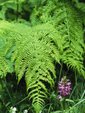 Wildflowers and Ferns in Forest, Bayerischer Wald National Park Photographic Print by Norbert Rosing