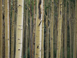 Close View of Tree Trunks in a Stand of Birch Trees Fotografisk tryk af Raul Touzon