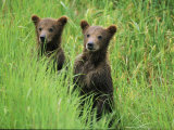 Alaskan brown bear cubs wait in long grass for their mother Lmina fotogrfica por Michael Melford