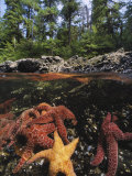 A Group of Ochre Sea Stars Clustered on a Rocky Shore Photographic Print by Bill Curtsinger