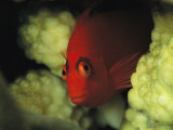 A Flame Hawkfish Peers from a Coral Hiding Place Photographic Print by Tim Laman