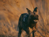 An African Wild Dog Bares its Teeth in Warning Photographic Print by Chris Johns