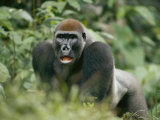 A Lowland Gorilla Walking Through the Forest on All Fours Photographic Print by Michael Fay
