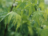 A Japanese Maple Tree Covered in Dew Photographic Print by Darlyne A. Murawski