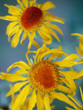 A Close View of Two Daisies Photographic Print by Raul Touzon