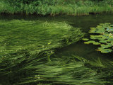 Marsh Grasses and Pond Lilies, Isa Lake on the Continental Divide Photographic Print by Raymond Gehman