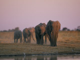 Elephants Roam the Plains of Moremi Game Reserve Fotografie-Druck von Chris Johns