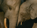 A Female Forest Elephant Bonds with Her Baby Fotografisk tryk af Michael Fay