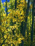 Melissa Farlow - Sunlight Filters Through the Autumn Leaves of Aspen Trees - Fotografik Baskı