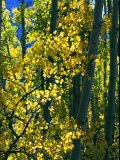 Sunlight Filters Through the Autumn Leaves of Aspen Trees Photographic Print by Melissa Farlow
