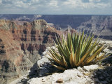 Yucca Plant Overlooking the Grand Canyon Photographic Print by Justin Locke
