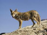 Coyote Fotografisk tryk af Walter Meayers Edwards