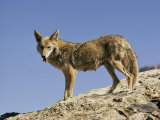 Coyote Photographic Print by Walter Meayers Edwards