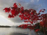 Ein Ahornbaum im Herbst, die Blätter rahmen Barnard Harbour ein Fotografie-Druck von Richard Nowitz