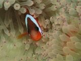An Anemonefish Nestles Among Sea Anemone Tentacles Photographic Print by Tim Laman