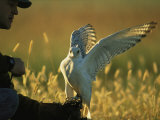 A Man Prepares to Hunt His Trained Gyrfalcon Photographic Print by Joel Sartore