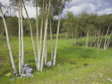 Aspen Trees, Shoshone National Forest, Wyoming Photographic Print by Raymond Gehman