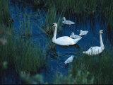 A Family of Trumpeter Swans Swims Near Denali National Park Impressão fotográfica por Melissa Farlow