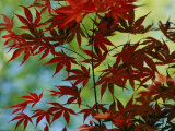 Japanese Maple Leaves Photographic Print by Darlyne A. Murawski