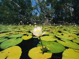 Water Lilies, Jardine River, Cape York Peninsula, Australia Photographic Print by Joe Stancampiano