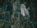 A Great Gray Owl Scouts for Prey in Yellowstone Photographic Print by Raymond Gehman