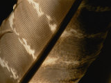Magnified View of a Red-Tailed Hawk Feather Photographic Print by Brian Gordon Green